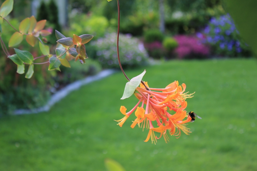 Mehiläinen ja köynnöskuusama