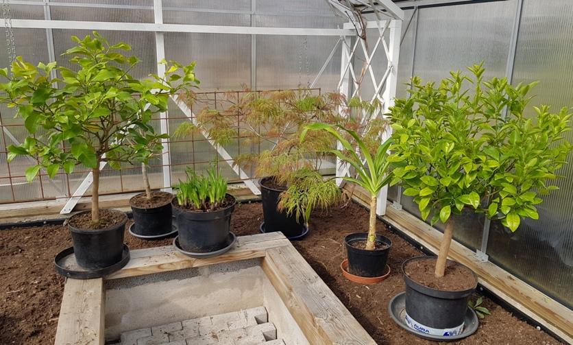 Pihan kevätpuuhia on välimeren kasvien siirtäminen kasvihuoneeseen.