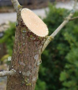 Vuotavien puiden leikkaaminen liian myöhään keväällä